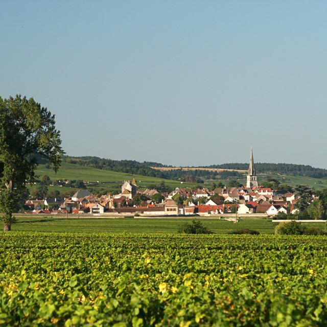 """Burgundy Vineyard"" stock image"