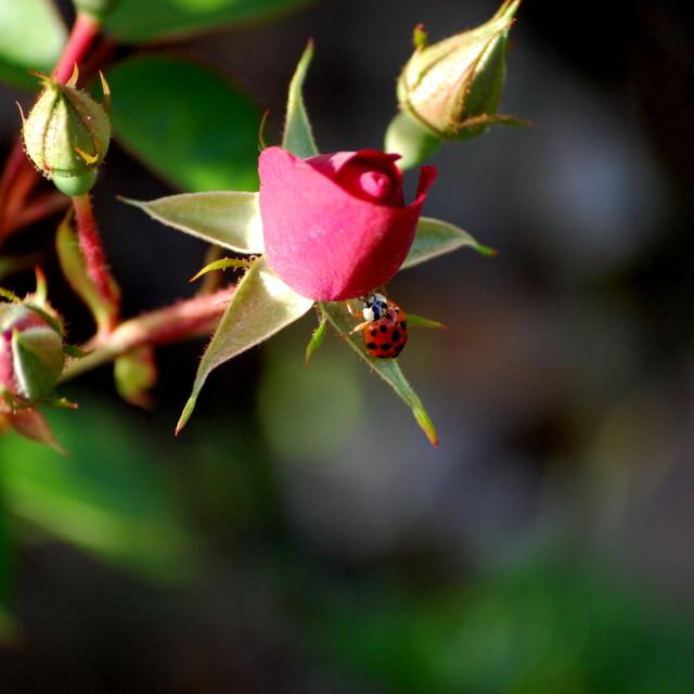 """Rose Bug"" stock image"