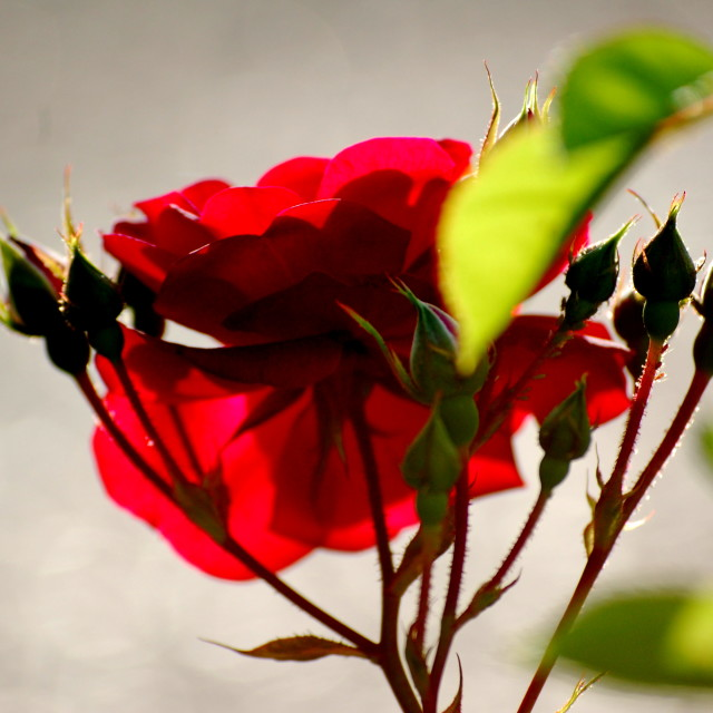 """Rose light"" stock image"