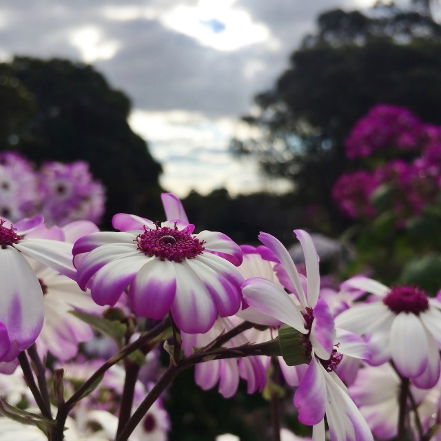 """""""Water Drop On Cineraria Flower"""" stock image"""