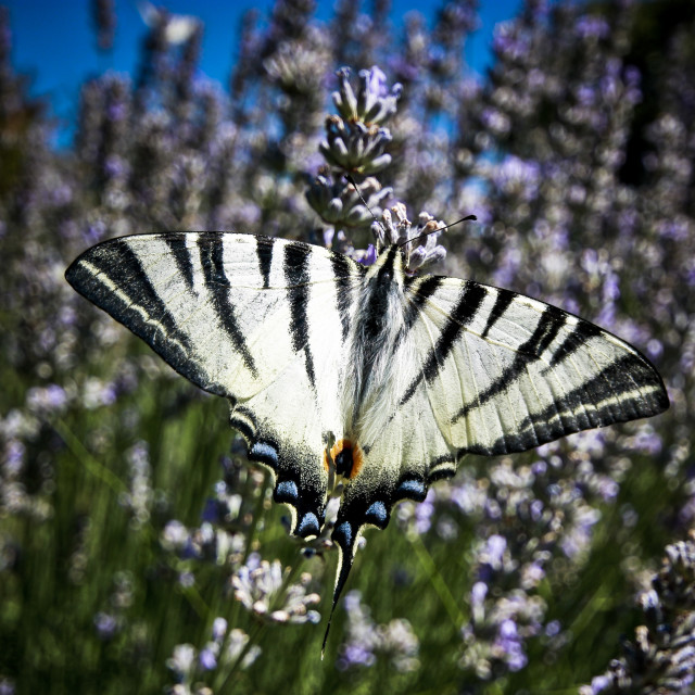 """""""Butterfly & Lavender"""" stock image"""