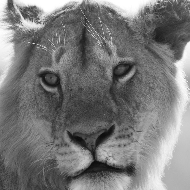"""""""Lion on the side of the road"""" stock image"""