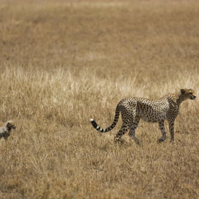 """""""Cheetah and Cub"""" stock image"""