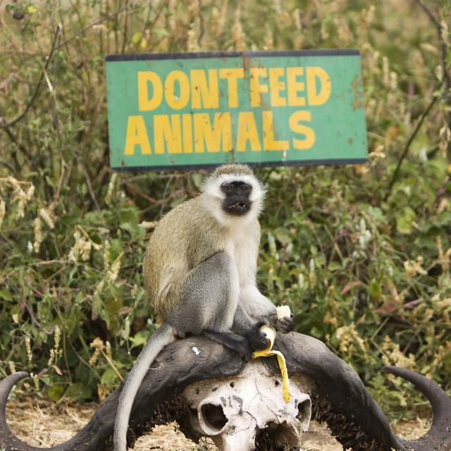 """""""Cheeky Monkey"""" stock image"""