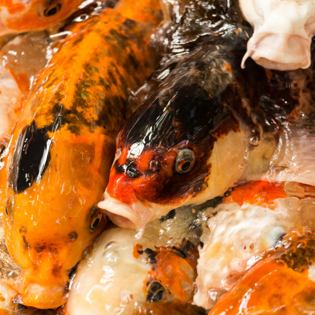 """""""Koi Carp feeding"""" stock image"""