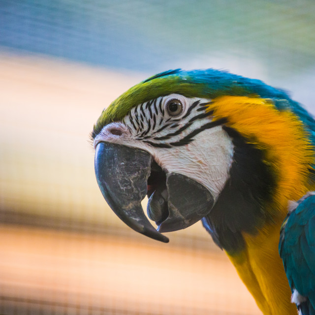 """Blue and Yellow Macaw"" stock image"