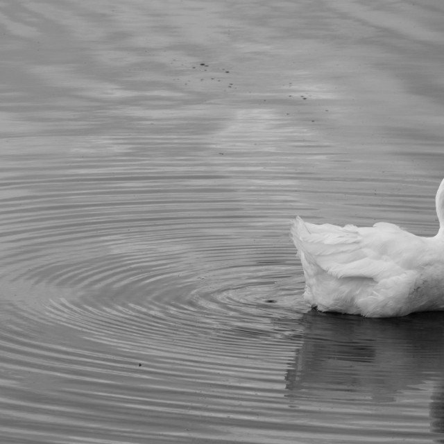 """Goose and Ripples"" stock image"