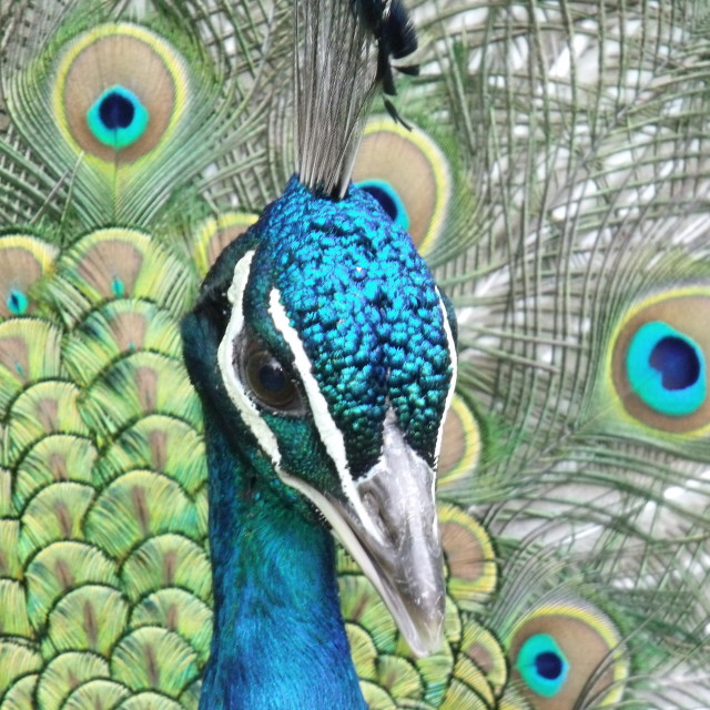 """""""Peacock close up"""" stock image"""