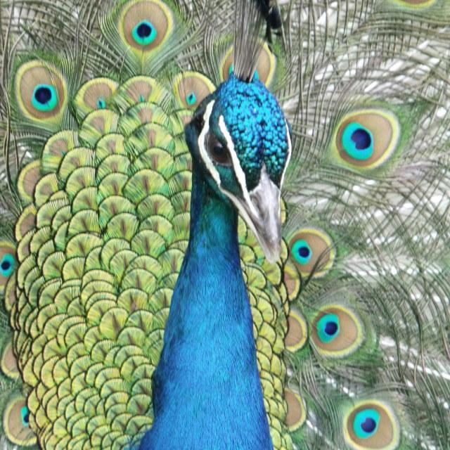 """Peacock 2"" stock image"