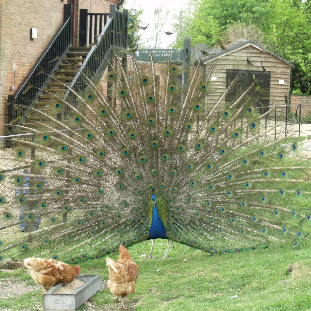 """""""Peacock with chickens at the farm"""" stock image"""