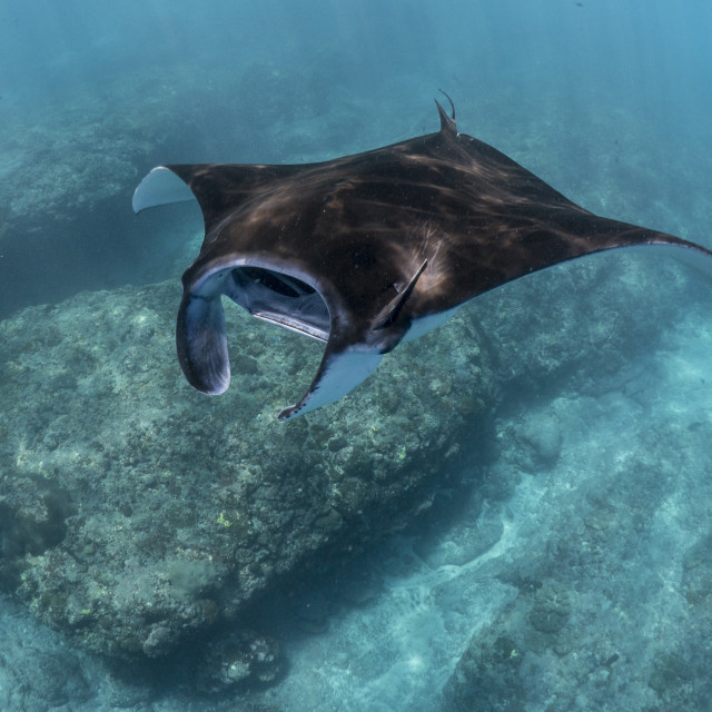 """Reef Manta Ray At Nusa Penida, Bali, Indonesia"" stock image"