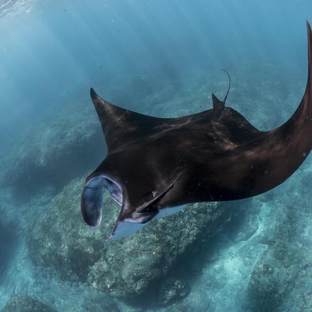 """""""Reef Manta Ray At Nusa Penida, Bali, Indonesia"""" stock image"""