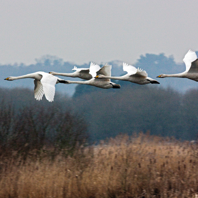 """""""Flight of the Swans"""" stock image"""