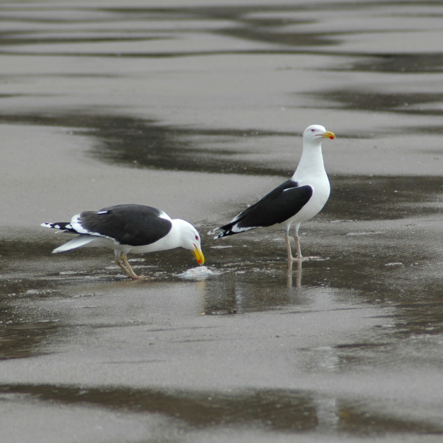 """Black Backed Gulls Feeding"" stock image"