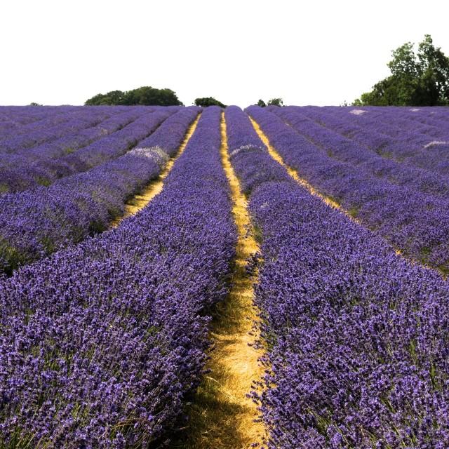 """""""Lavender In Bloom"""" stock image"""