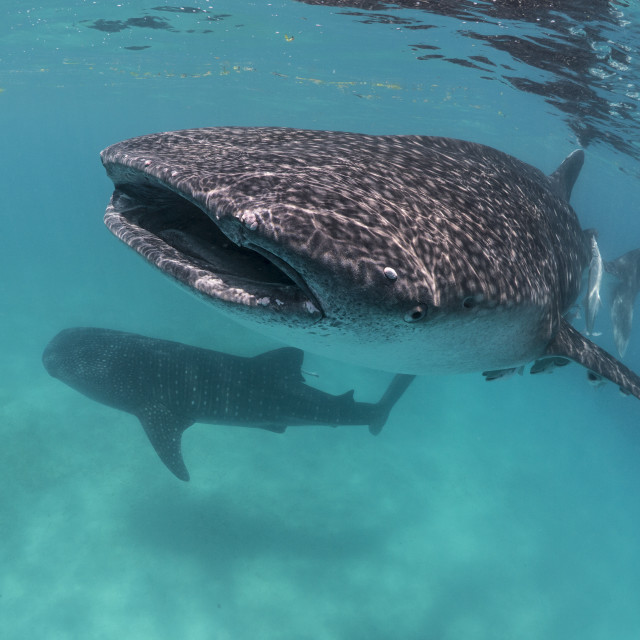 """Whale Sharks In The Philippines"" stock image"