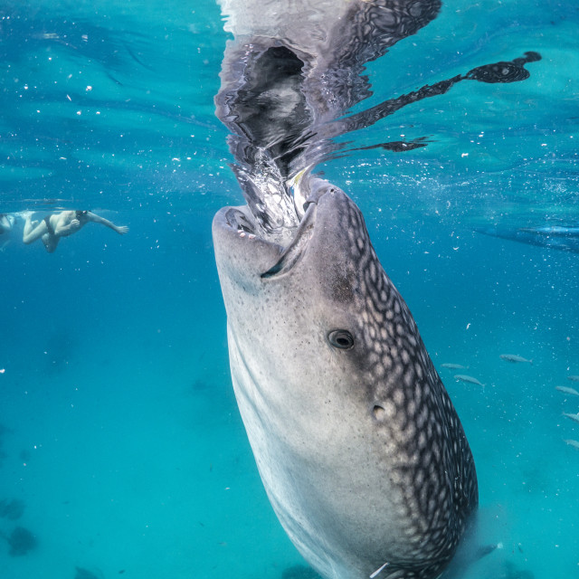 """Whale Shark Suction-Feeding at Oslob, Philippines"" stock image"