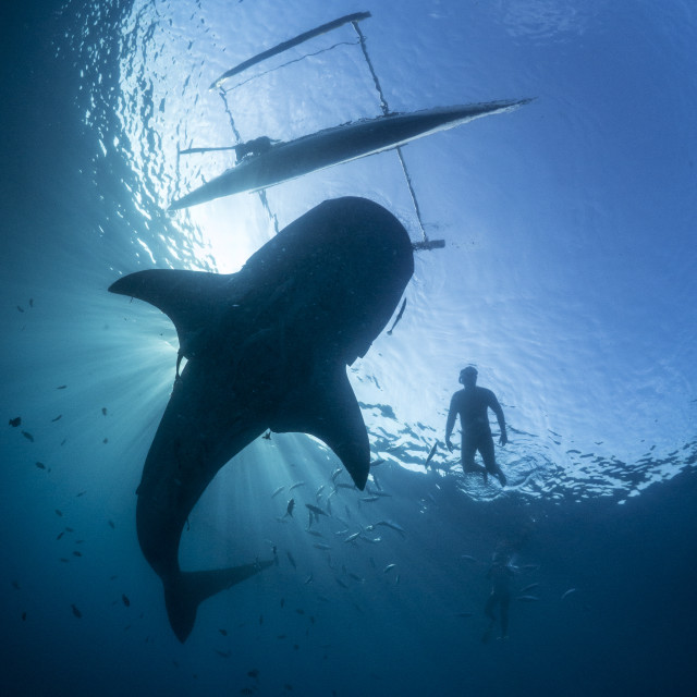 """Whale Shark, Boat And Swimmer Silhouette In The Philippines"" stock image"