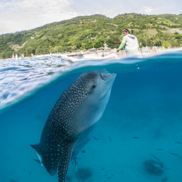 """Whale Shark Feeding From Canoe At Oslob, Philippines"" stock image"