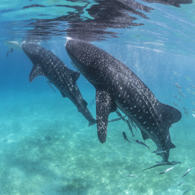 """""""Two Whale Sharks Feed From Boats At Oslob, Philippines"""" stock image"""