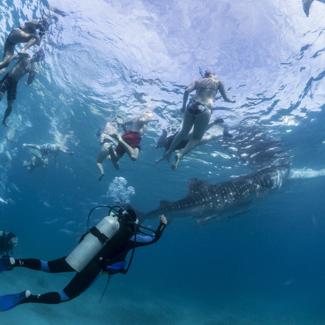 """Tourists With Whale Shark At Oslob, Philippines"" stock image"