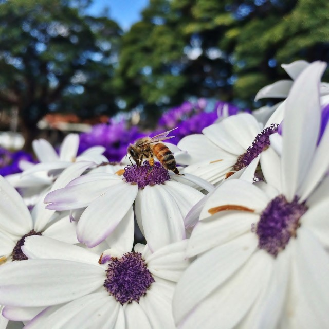 """""""Bee On White And Purple Flower"""" stock image"""