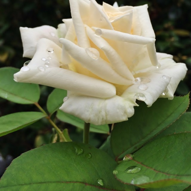 """""""White Rose After Rain"""" stock image"""