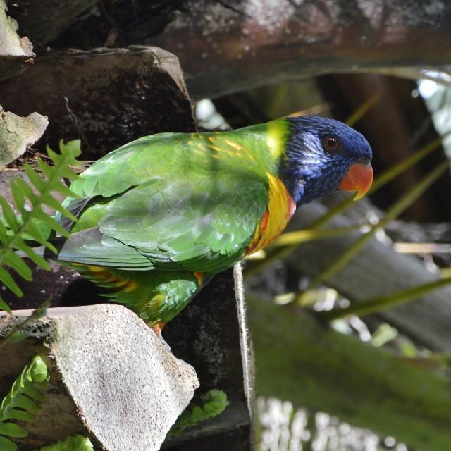 """Rainbow Lorikeet At Palm Tree Canopy"" stock image"