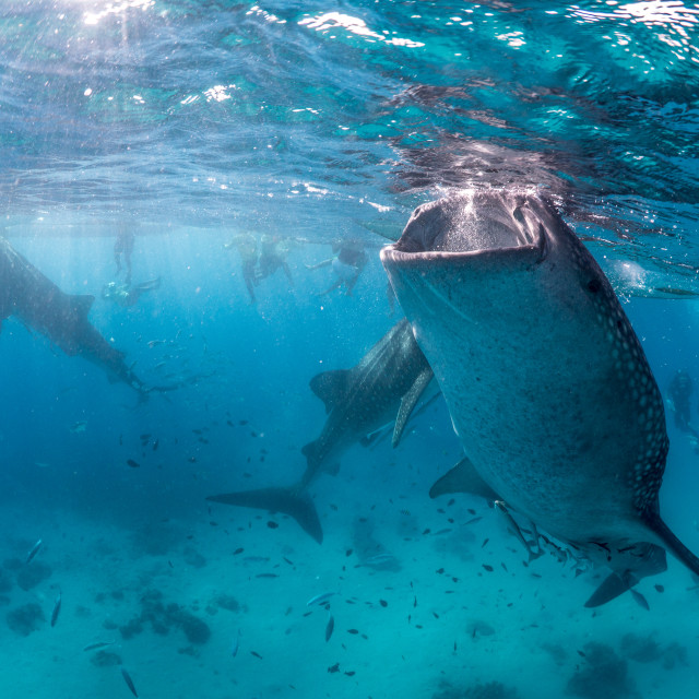 """Whale Sharks Feeding In The Philippines"" stock image"
