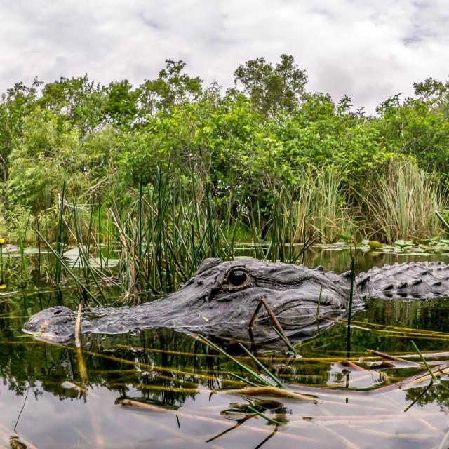 """American Alligator In The Everglades, Florida"" stock image"