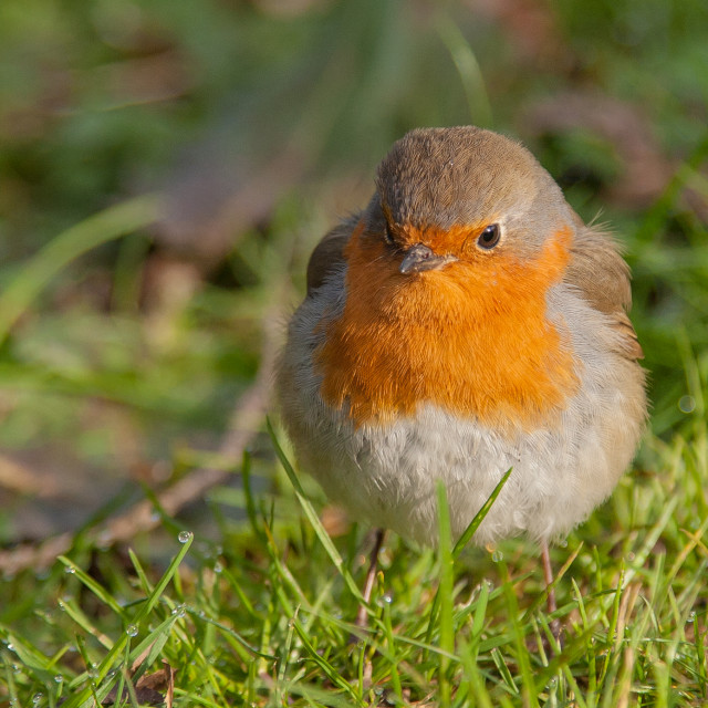 """Robin close up"" stock image"