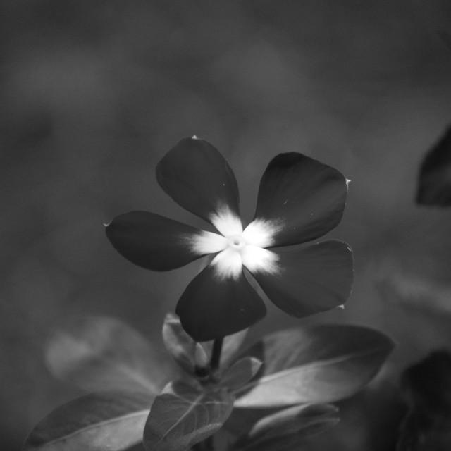 """Black and White Flower"" stock image"