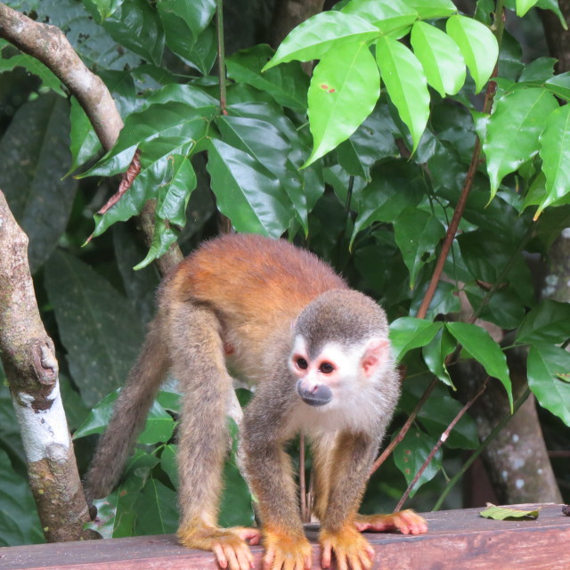 """Squirrel Monkey - Rough Guides"" stock image"
