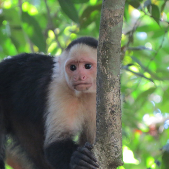 """Capuchin monkey- Rough Guides"" stock image"