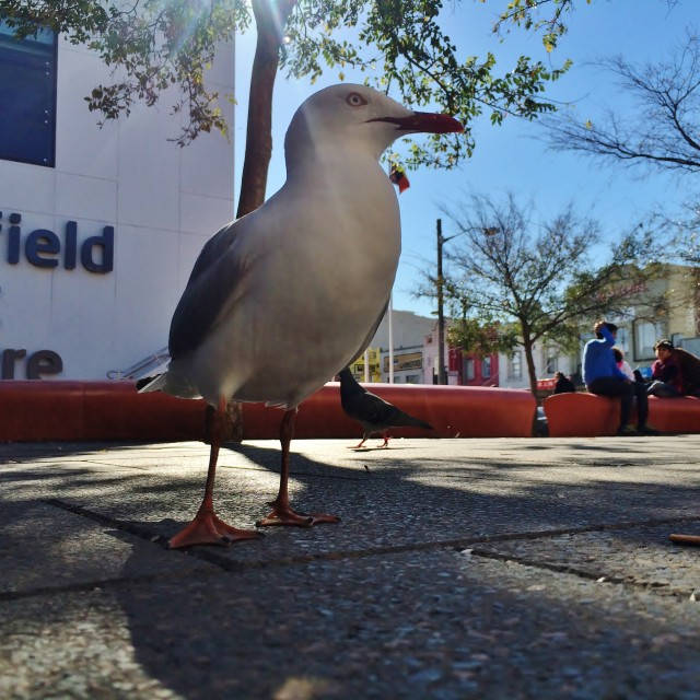 """Silver Gull In Public Courtyard"" stock image"