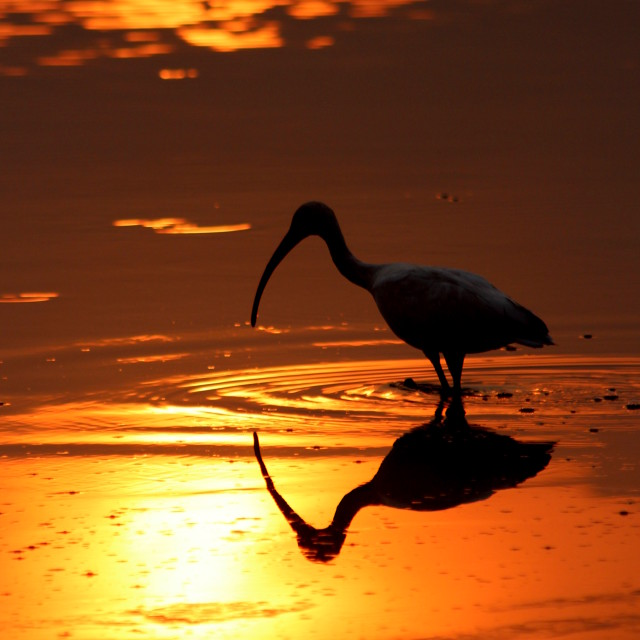 """Ibis at Dawn"" stock image"
