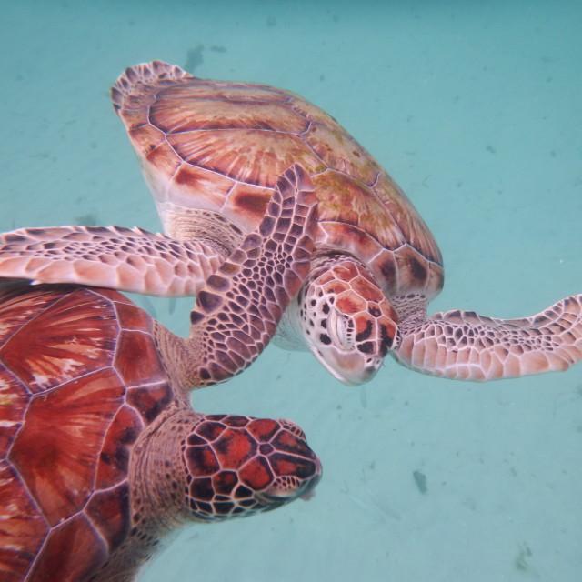 """Hawksbill Turtles Barbados"" stock image"