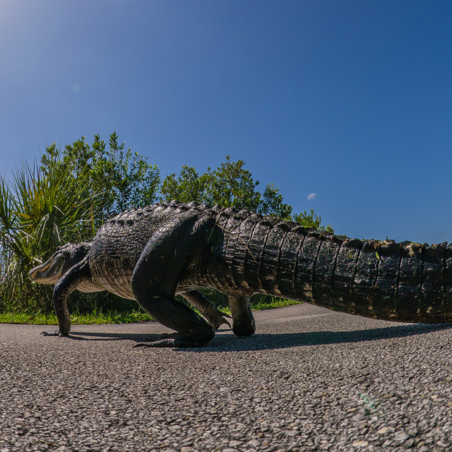 """""""American Alligator Walking Across The Road At Shark Valley, Ever"""" stock image"""