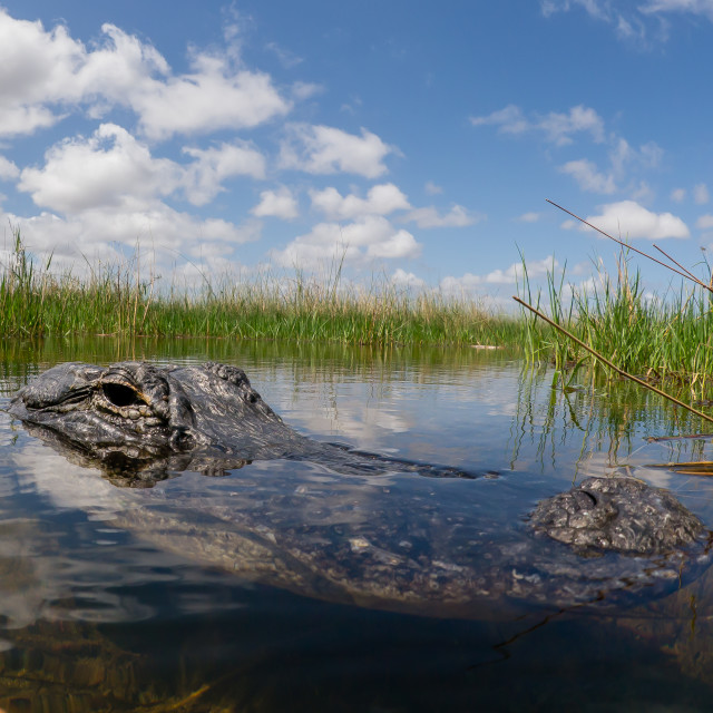 """Alligator Profile At Everglades National Park, Florida"" stock image"