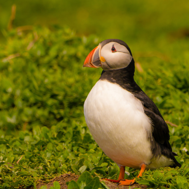 """Atlantic Puffin In The Farne Islands, UK"" stock image"