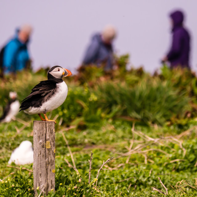 """""""Puffin And Birdwatchers On The Farne Islands, UK"""" stock image"""