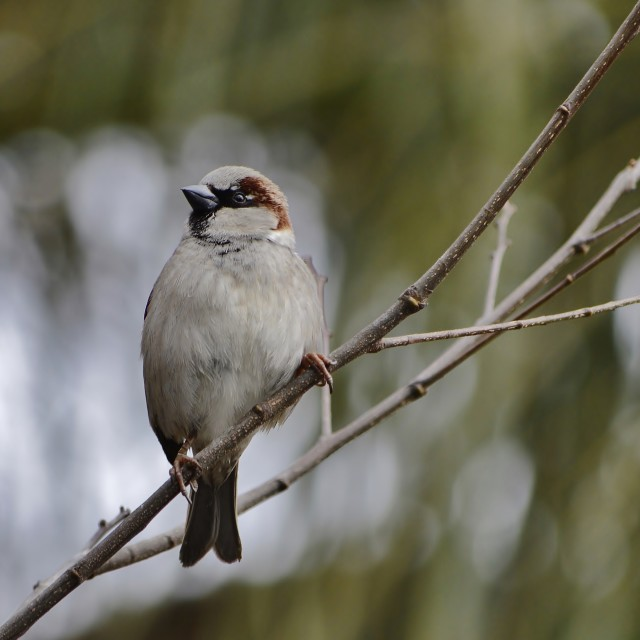 """""""House Sparrow On A Twig"""" stock image"""