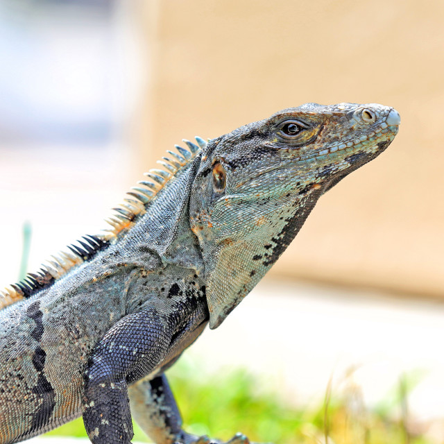 """Spiny Tailed Iguana"" stock image"