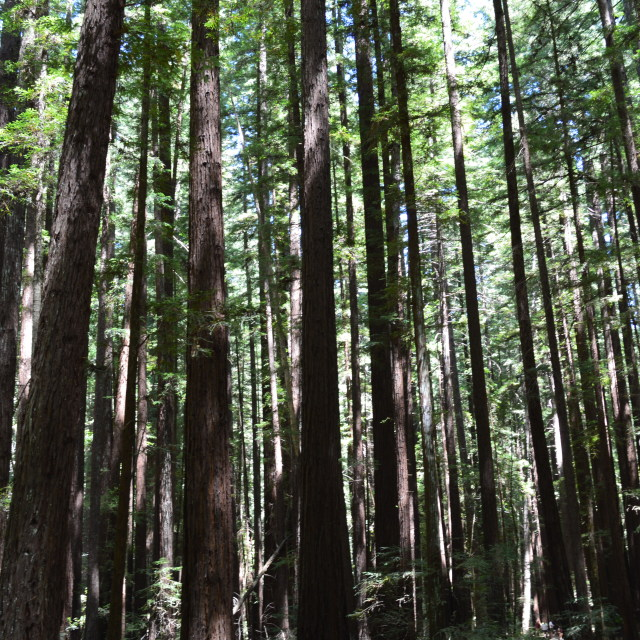 """Redwood Forest Canopy"" stock image"