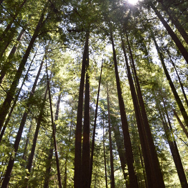 """Sun breaking through a Redwood Canopy"" stock image"