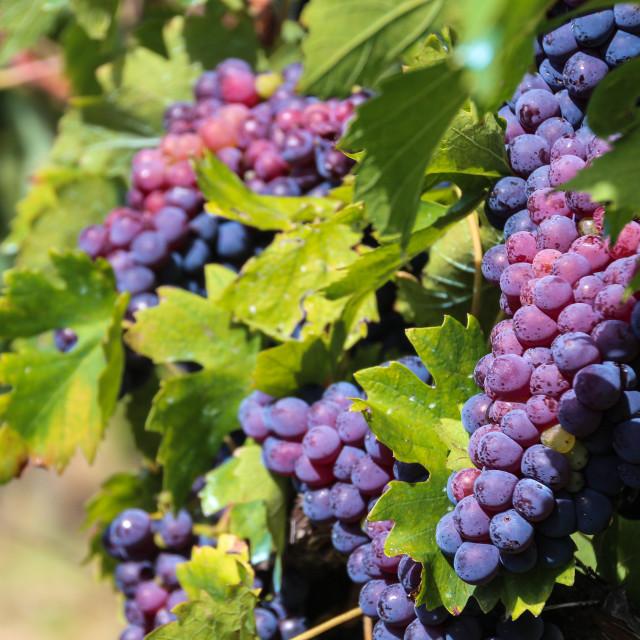 """Grapes of Tuscany"" stock image"