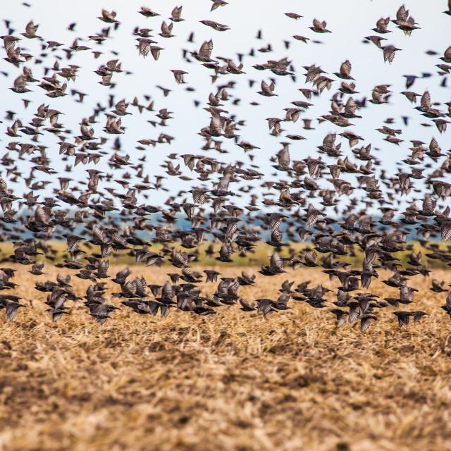 """Flock of birds"" stock image"