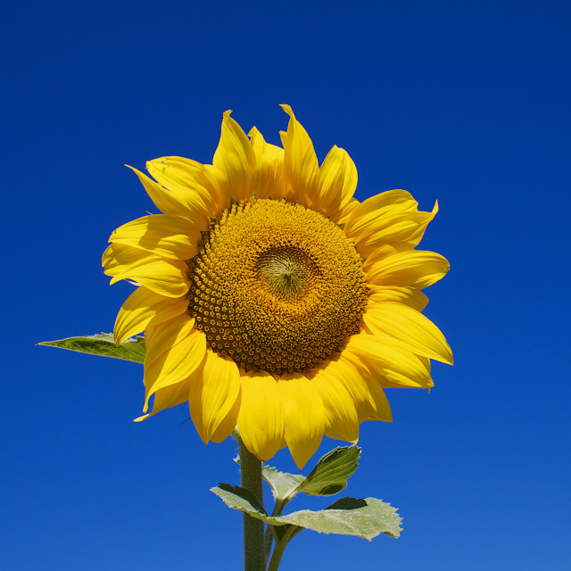 """Sunny Flower"" stock image"