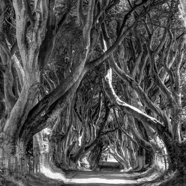 """Dark Hedges, Northern Ireland"" stock image"
