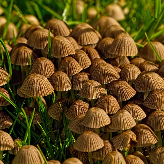 """""""Crowded Coprinellus micaceus"""" stock image"""